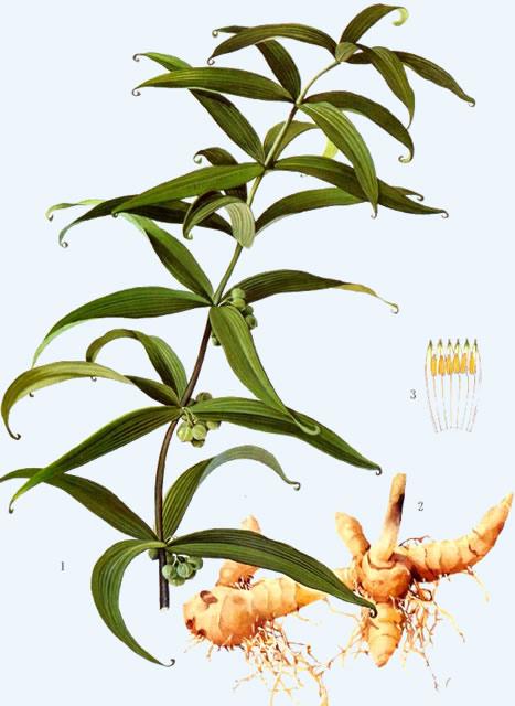 中药黄精植物图片